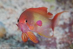 BD-100922-St-Johns-2046-Pseudanthias-squamipinnis-(Peters.-1855)-[Sea-goldie].jpg